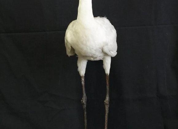 Vintage Taxidermy Spoonbill