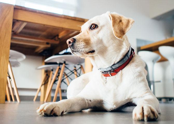 cão dourado