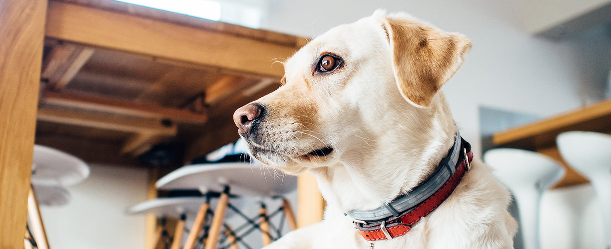 Yellow Labrador Retriever Dog Waits Patiently for His Afternoon Walk