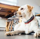 ゴールデン犬