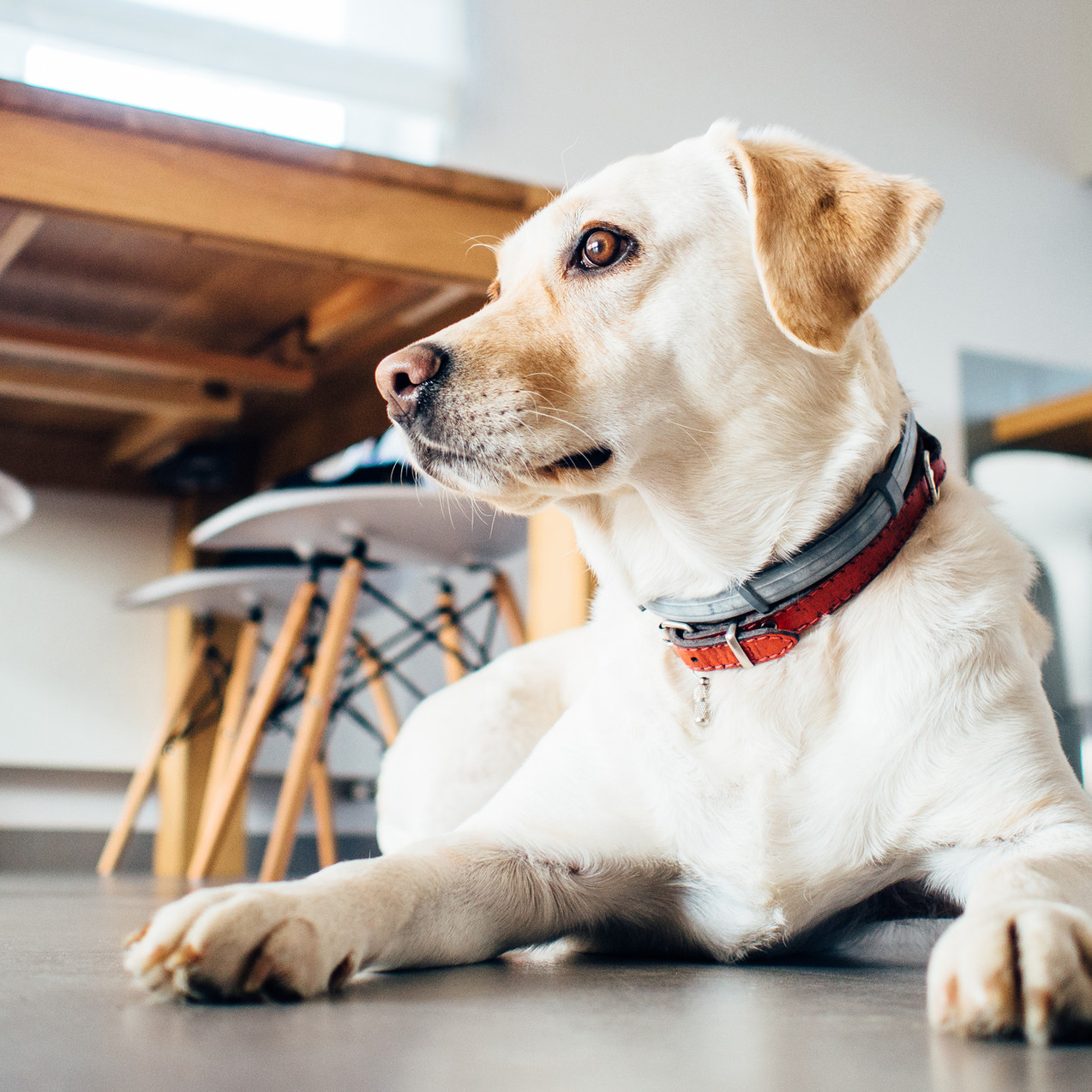 Cachorro dentro de casa