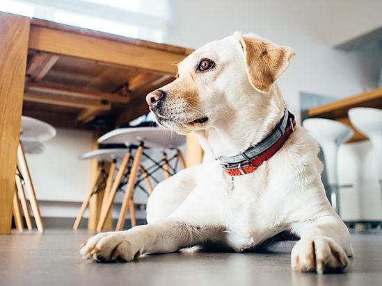 Golden Dog With Handmade Collars