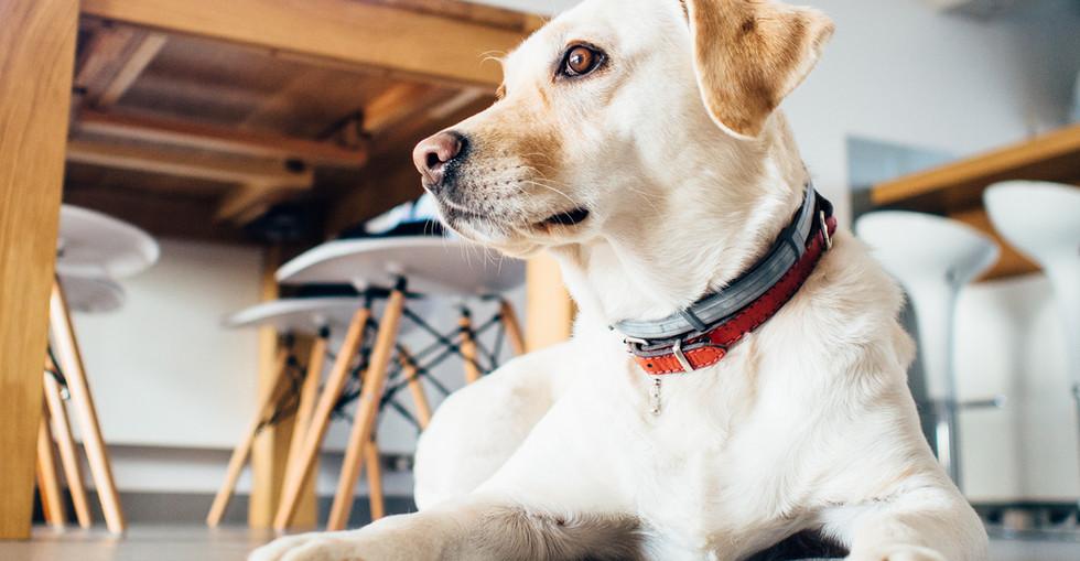 Golden Dog