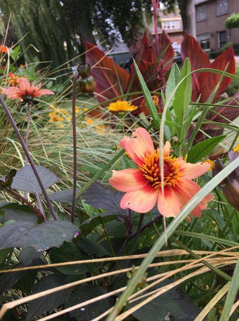 Dahlia's gecombineerd met vaste planten