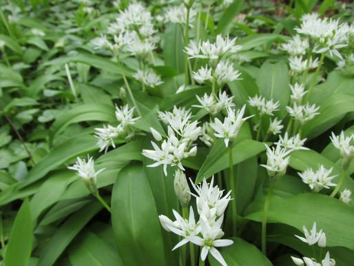 Eetbare planten: Daslook