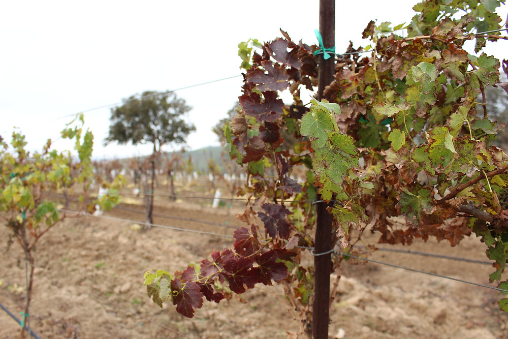 Vines during winter months - dormancy