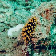 Phyllidia ocellata