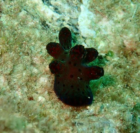 Coriocella hibyae