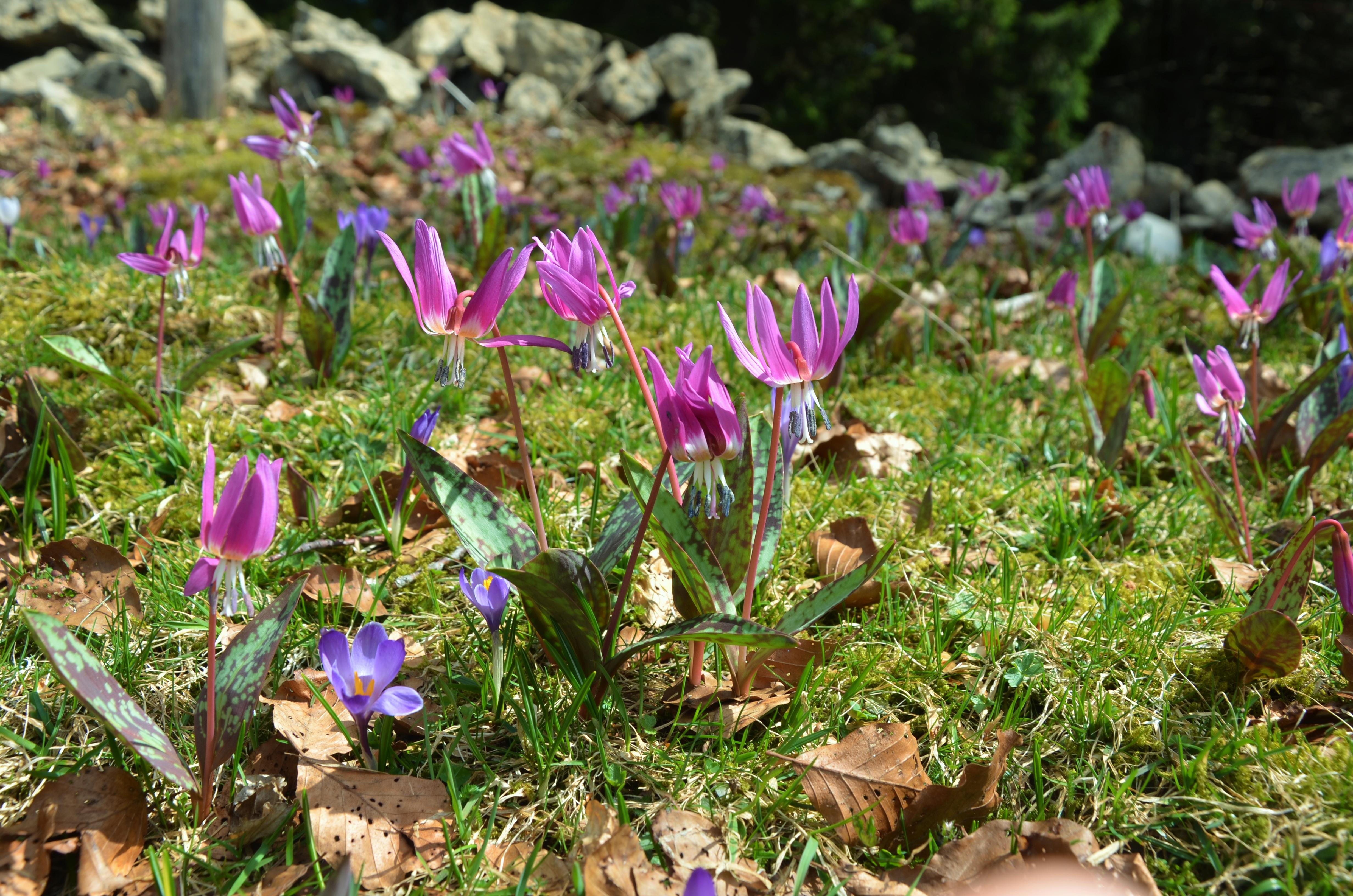 Erythrones, fleurs du Haut Jura