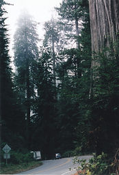 Redwood Forest National Park, California, trees