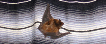 brown bat little big indiana evening wings