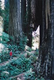 Redwood National Park California trees ferns
