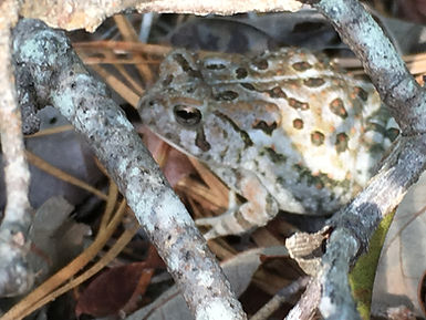 Fowler's Toad, Myles Standish State Forest, Massachusetts