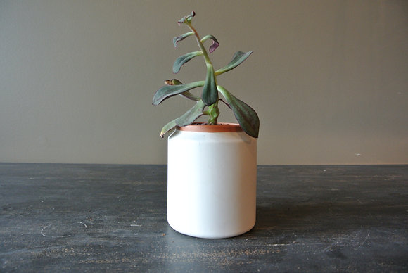 Purple Edge Succulent in Tall White & Tan Pot
