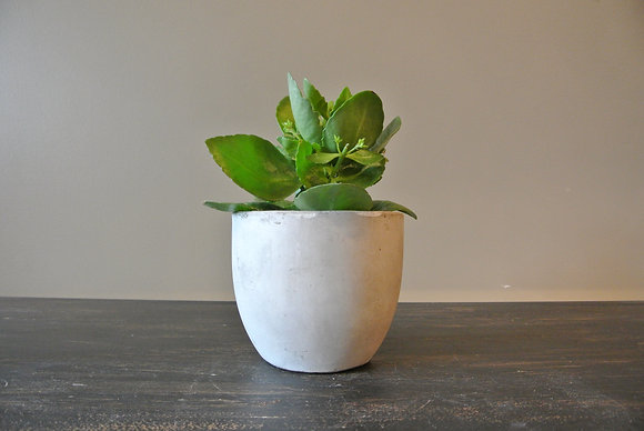 Leafy Succulent in Gray Bowl