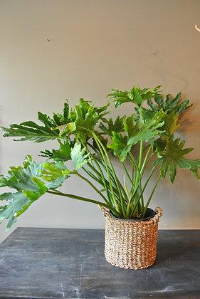 Long Steam Leafy Plant
