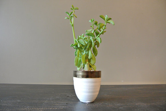 Tall Succulent in White & Gold Pot