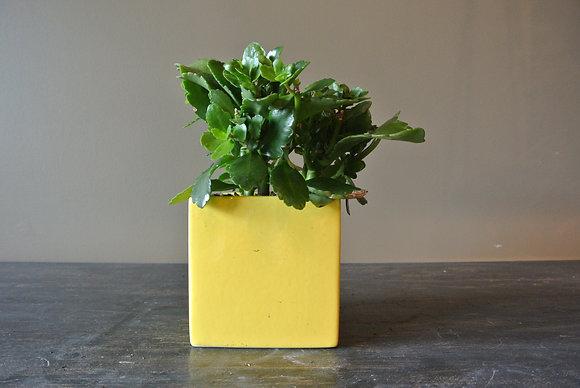 Succulent Plant in Vintage Yellow Pot