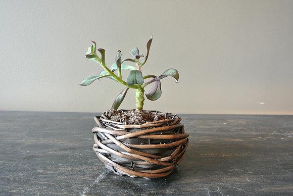 Purple Edge Succulent in Small Basket