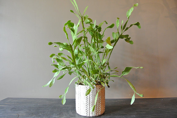 Wild Plant with Long Leafs in Patterned Pot