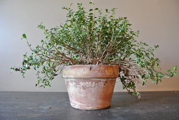 Plant in Medium Tan Textured Pot