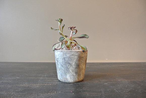 Echeveria in Gray Textured Pot