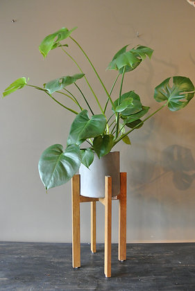 Philodendron Plant with Medium Stand