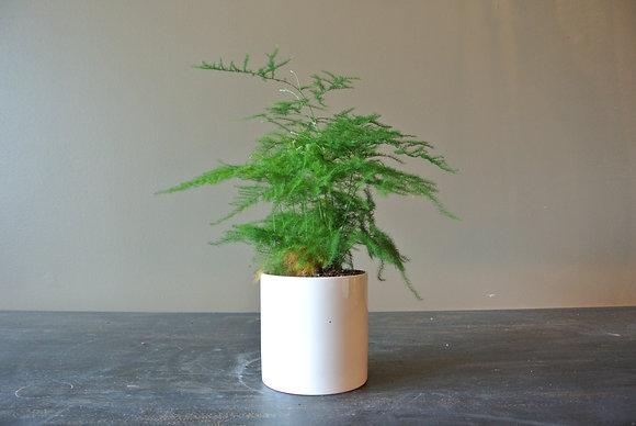 Fuzzy Plant in Small White Pot