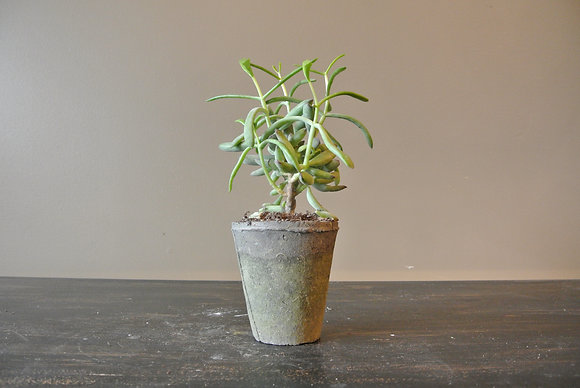 Long Arm Succulent in Gray Textured Pot