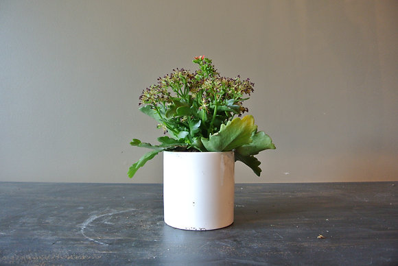 Flowering Plant in Small White Pot