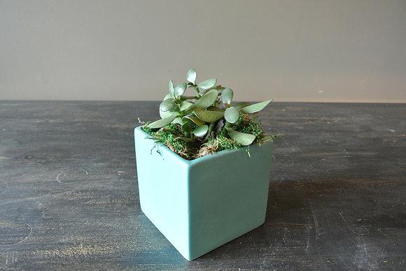 Small Succulent in Light Blue Pot
