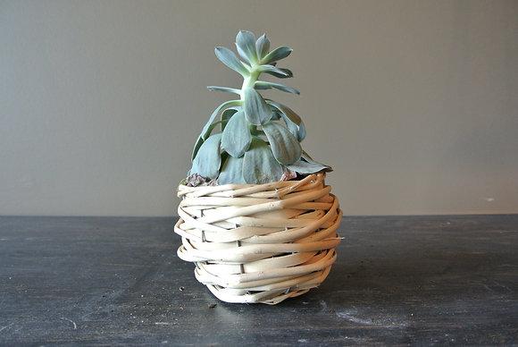 Domingo Succulent in Small Basket