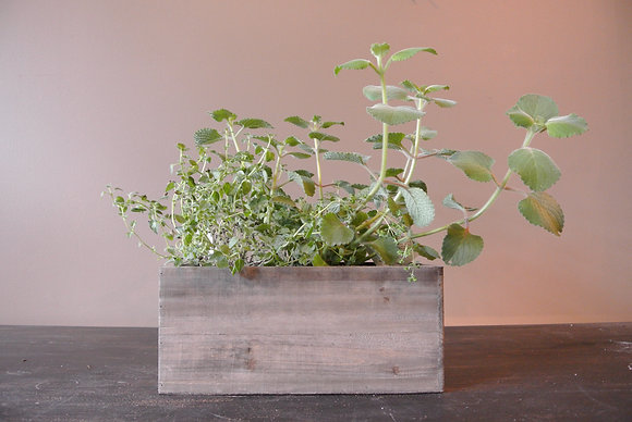 Broadleaf Thyme in Wood Base