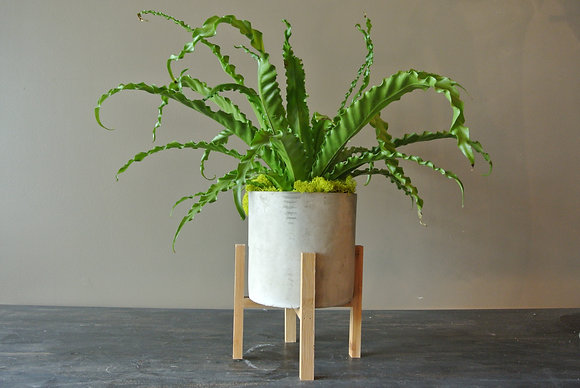 Bird's Nest Fern with Small Stand