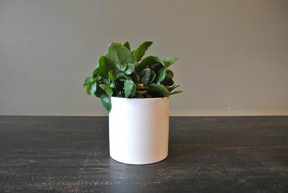 White Speck Succulent in Small White Pot