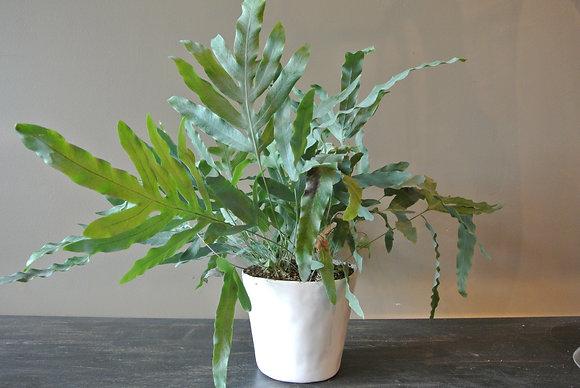 Leafy Plant in Medium White Pot