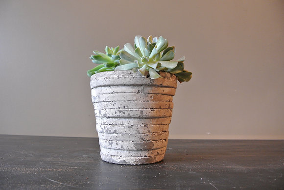 3 Echeveria in Gray Ribbed Pot
