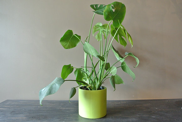 Philodendron in Green Pot