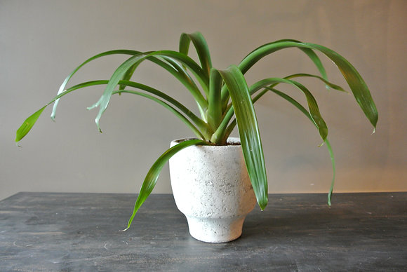 Long Leaf Plant in Textured White Pot