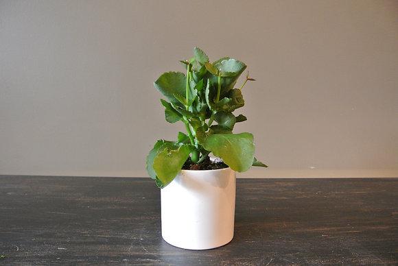 Soft Ridged Succulent in Small White Pot