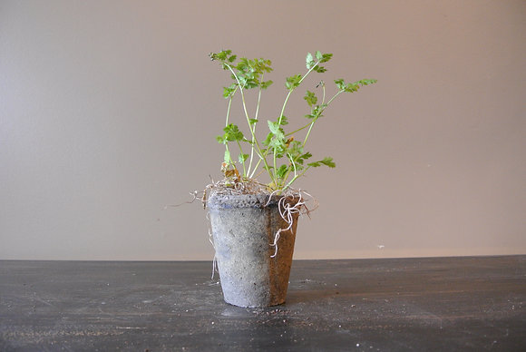 Cilantro Plant in Textured Gray Pot