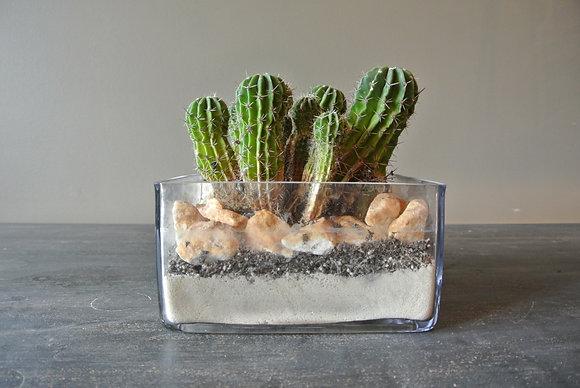 Short Cacti in Square Glass Vase