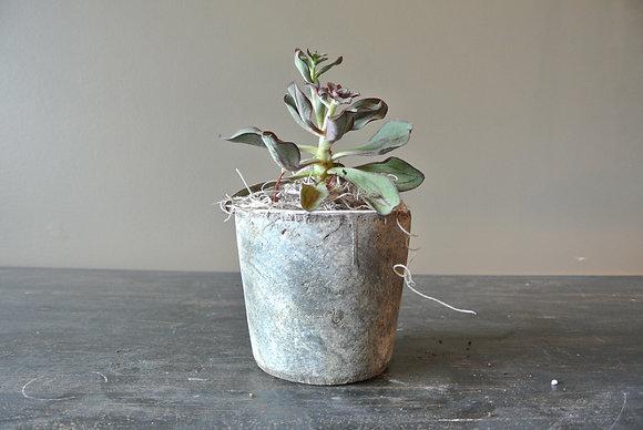Purple Edge Succulent in Gray Pot