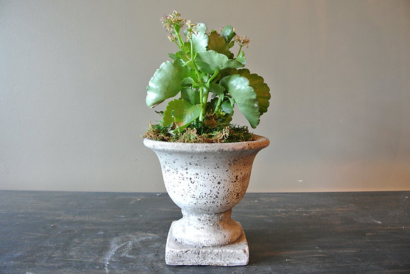 Big Leaf Plant in Formed Pot
