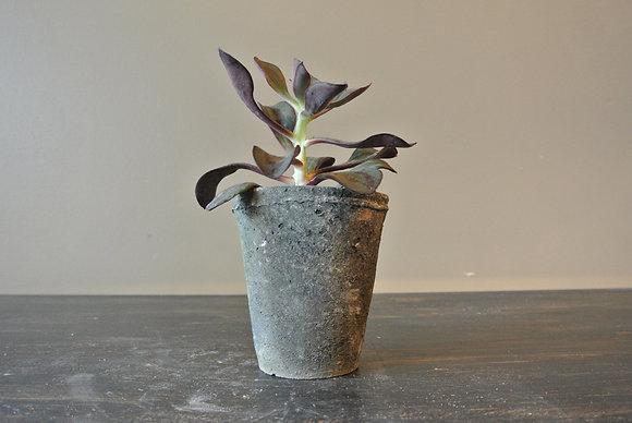 Dark Purple Echeveria in Gray Textured Pot