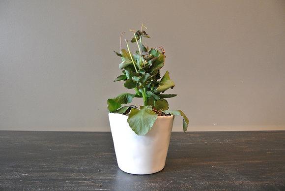 Artful Succulent in Small White Pot