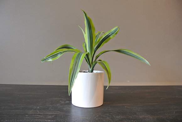 Long Leaf Plant in Small White Pot