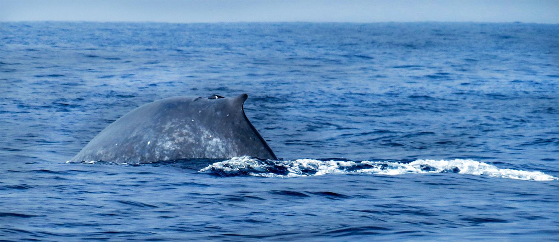 Mirissa whale 6