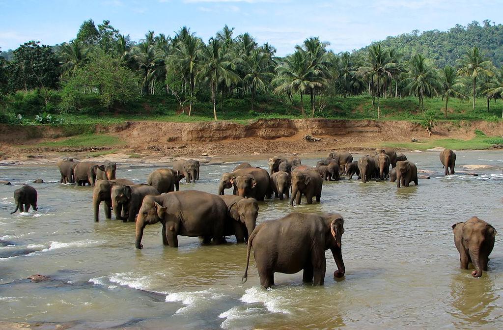 Pinnawala Elefanten 1