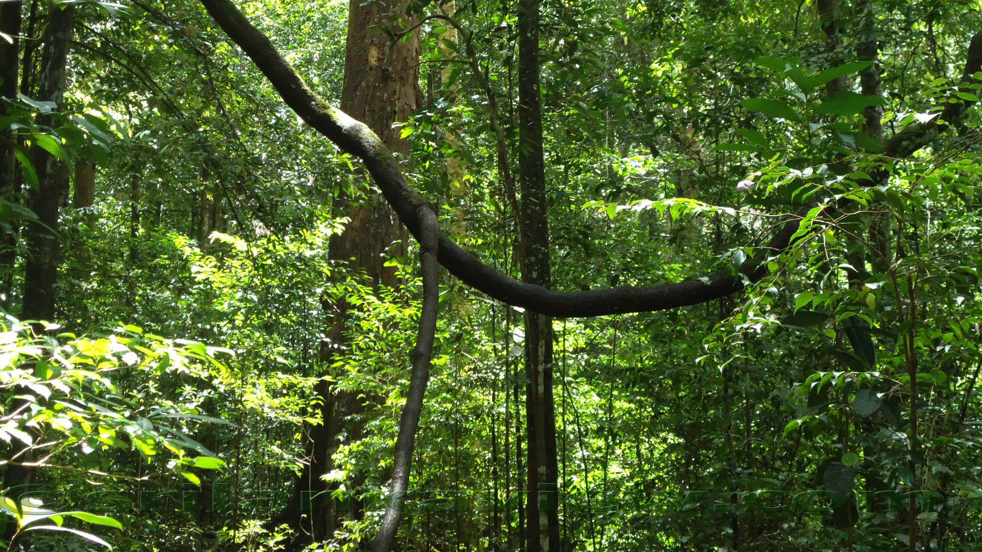 Sinharaja Rainforest 1